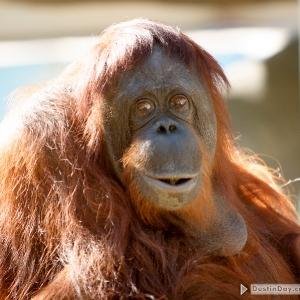 phoenix_zoo_orangutan_002